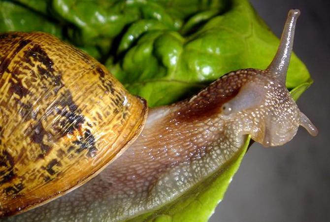 Pellet-caracoles