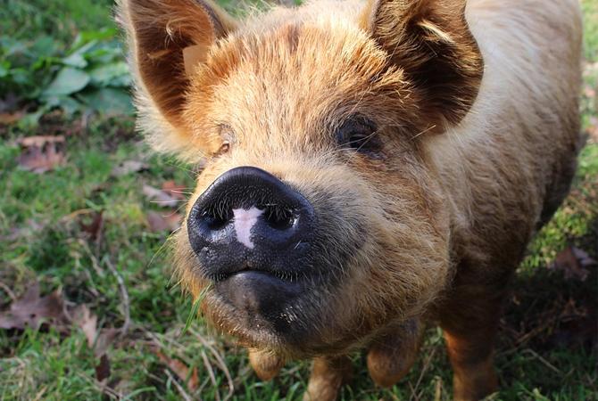 productos-para-animales-mayores-cerdo